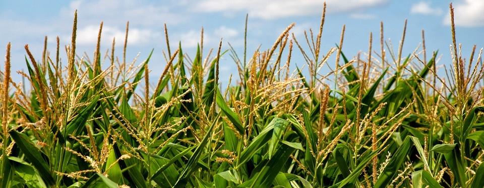 Mais oogsten